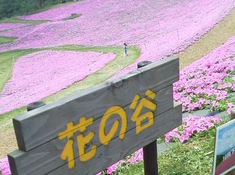 花の谷から見るピンクの絨毯